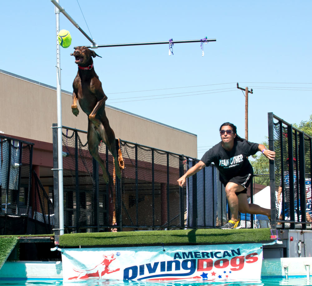 Diving Dog jumping to catch ball